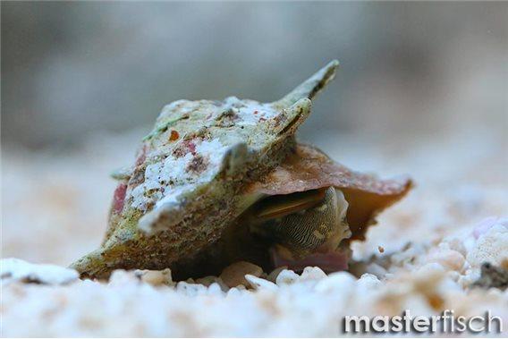 Escargot nettoyeur Astrea étoilé